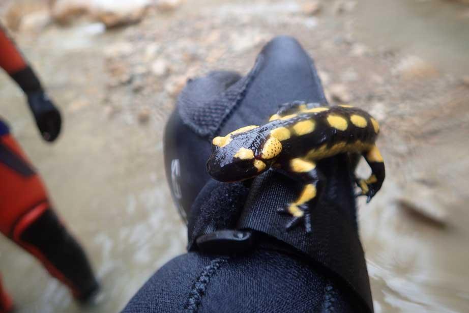 una salamandra en el Forat Negre